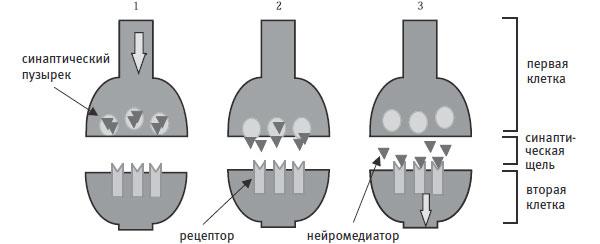 Синапс. Место передачи сигнала от одной нервной клетки к другой\n1. Нервный импульс (потенциал действия) достигает пресинаптической мембраны на конце одной клетки.\n2. Из-за этого пузырьки подплывают к мембране и выделяют содержащийся в них нейромедиатор в синаптическую щель.\n3. Молекулы нейромедиатора достигают рецепторов, расположенных на постсинаптической мембране, принадлежащей второй клетке. Если это возбуждающий синапс и сигнал окажется достаточно сильным, это может запустить нервный импульс во второй клетке. Если это тормозной синапс, то постсинаптическая клетка станет менее активной. Однако каждый нейрон обычно связан синапсами со многими другими, поэтому что произойдет во второй клетке, зависит от суммарного эффекта воздействия всех ее синапсов.\nВпоследствии нейротрансмиттеры снова поглощаются пресинаптической мембраной, и весь цикл может повториться снова