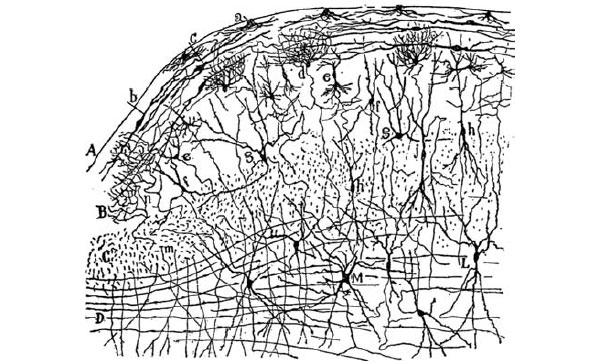 """Нервные клетки элементарные единицы, из которых состоит мозг. На этом рисунке Сантьяго Рамона-и-Кахаля показаны нервные клетки коры головного мозга, окрашенные по методике, разработанной Камилло Гольджи. Видны многочисленные нейроны разного типа и их отростки.\nИсточник: Рис. 117, """"Coupe tranversale du tubercule quadrijumeau antérieur; lapin âgé de 8 jours, Méthode de Golgi"""", из книги: Cajal, S. R. y. (1901). The great unraveled knot. От Уильяма Холла, отделение нейробиологии, Медицинский центр Университета Дьюка"""