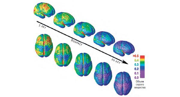 Мозг развивается от задних отделов (в основном задействованных в работе органов чувств и движениях) к передним (задействованных в принятии решений, рассудочной деятельности и планировании). В ходе развития серое вещество истончается в результате подрезания лишних нейронов, но связи между оставшимися нейронами становятся все плотнее и надежнее за счет образования чехлов из жироподобного вещества миелина. Справа внизу: По мере созревания мозга он становится все плотнее и образует сложную систему выпуклостей (извилин) и углублений (борозд).