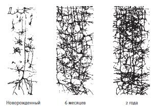 Связи между нейронами в мозгу новорожденного довольно редки (вверху слева), но новые связи формируются у младенцев с потрясающей скоростью, достигая максимальной плотности примерно к шести годам. После этого они снова прореживаются за счет отмирания тех, что не используются, в результате чего остаются только те, что полезны. Обучаясь чему-то новому, взрослый человек может увеличивать число связей у себя в мозгу на протяжении всей жизни. Но если не давать мозгу работу, это приводит к дальнейшему исчезновению связей. Новые клетки мозга возникают на протяжении всей жизни (этот процесс называют нейрогенезом), и некоторые из новообразованных клеток встраиваются в уже существующие нейронные сети, особенно задействованные в работе памяти и обучении.