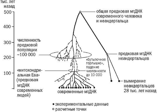 Схема эволюций линий мтДНК