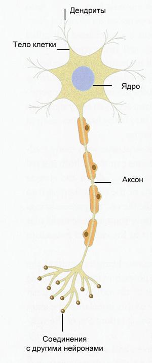 элементы нервной системы.