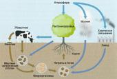 Круговорот азота в природе.  Роль фекалий животных на иллюстрации аналогична сточным водам, прошедшим септик и...