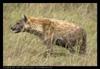 Из всех млекопитающих брато- и сестроубийство более всего распространено у пятнистых гиен (Crocuta crocuta) (фото с...