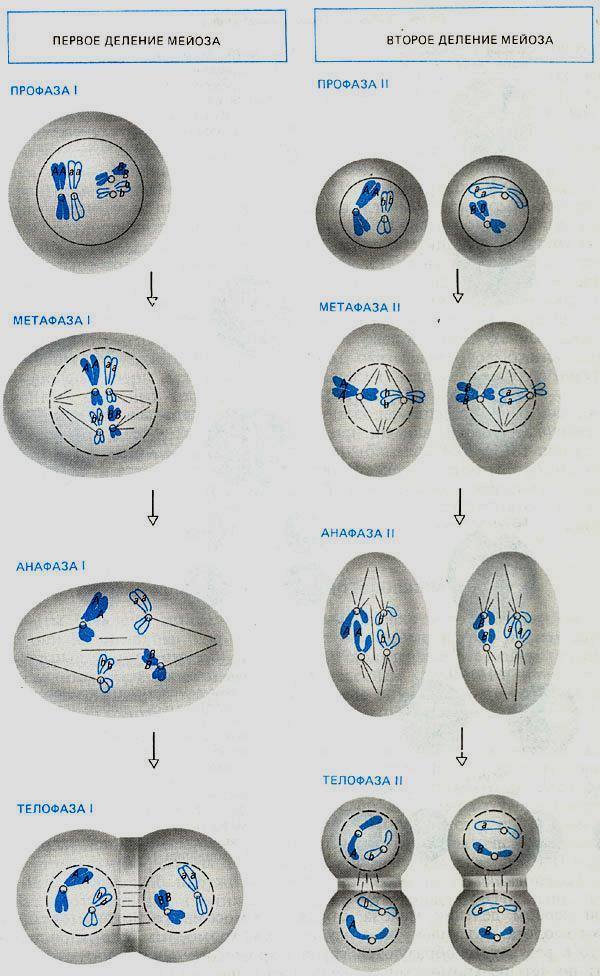 Деление цитоплазмы клетки