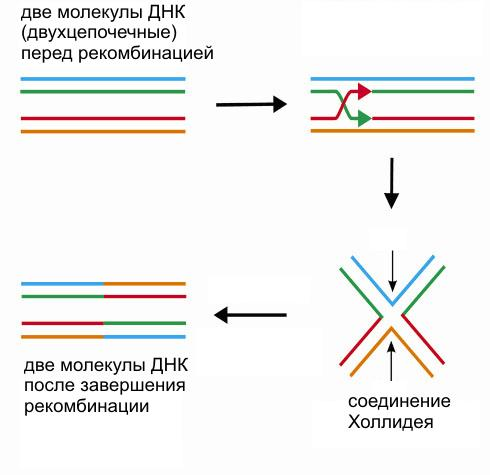 Упрощенная схема одного из вариантов гомологичной рекомбинации