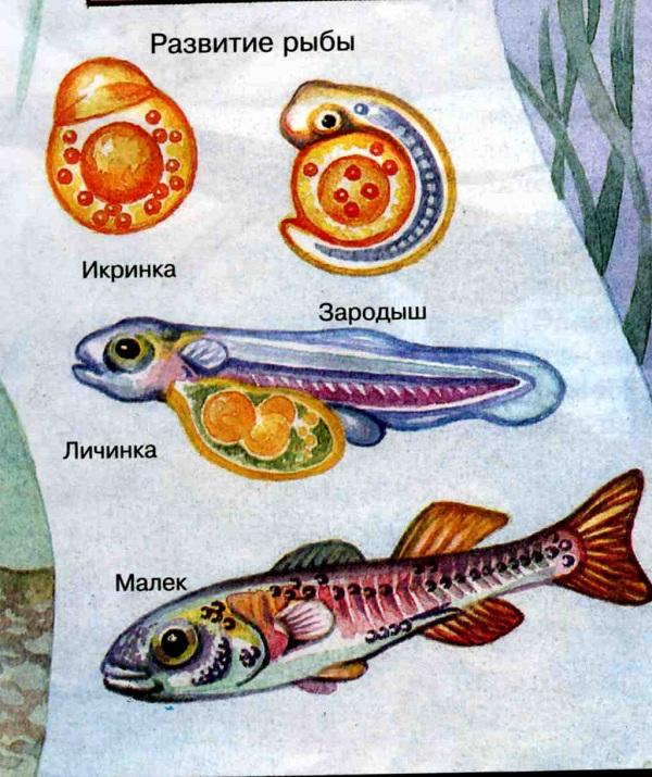 Эмбриональное развитие рыб