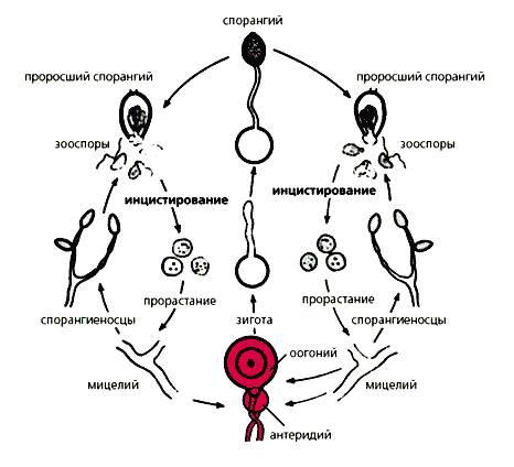 Половой и парасексуальный циклы у грибов