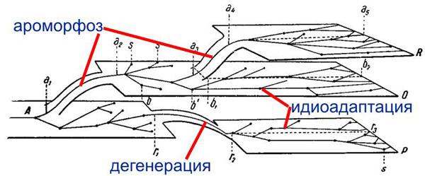 Классическая схема, отражающее соотношение разных форм эволюции по А.Н.Северцову: ароморфоз - подъем на более высокий...