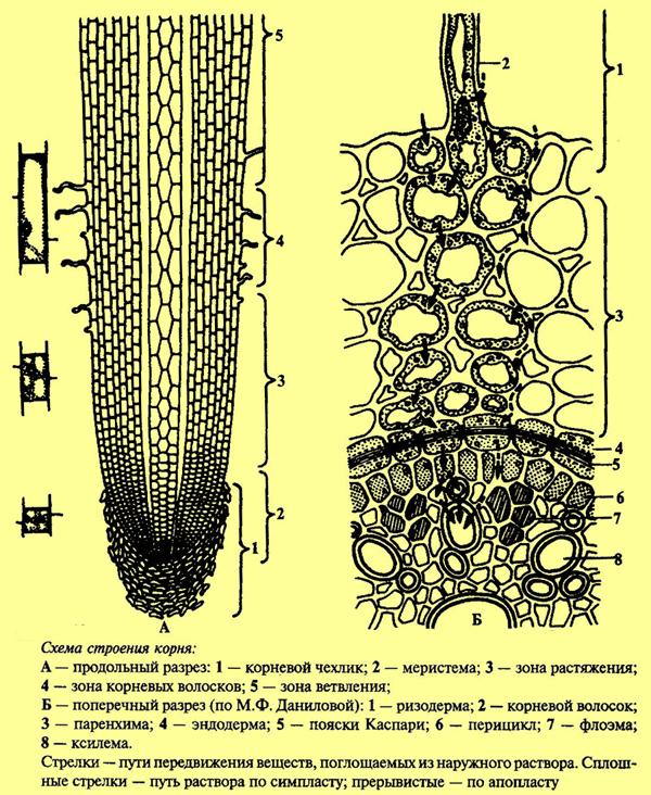 схема строения корня — схема