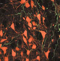 Отростки нейронов моторной коры головного мозга крыс (светятся зеленым цветом в ультрафиолете) образуют сеть вокруг моторных нейронов ядра лицевого нерва (окрашены в красный цвет). Иллюстрация взята из статьи: Valery Grinevich, Michael Brecht and Pavel Osten. Journal of Neuroscience, 2005, v. 25, N 36, pp. 8250–8258