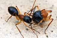 <b>Рис. 1.</b> Младший муравей по команде складывается в «чемоданчик», чтобы старший мог его перенести куда надо. Фото с сайта www.myrmecos.net