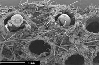 Ловушки муравьев <i>Allomerus decemarticulatus</i>
