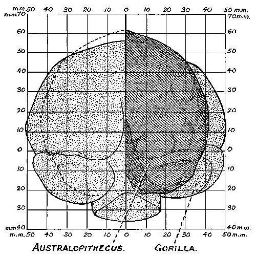На схеме отчетливо видно, что мозг австралопитека, считающегося непосредственным предком человека разумного, заметно...