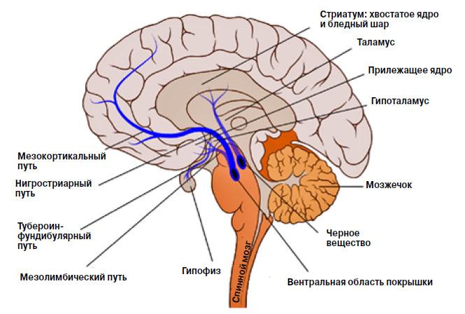 Система дофамина в головном мозге человека («Химия и жизнь» №1, 2019)