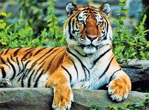 Полосы на шкуре тигра вызваны близкими к реакции Белоусова—Жаботинского колебательными биохимическими реакциями с диффузией, существование которых предположил математик Алан Тьюринг. Фотография Джона и Карен Холлингсворт.