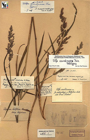 Этот образец из коллекции основателя Ботанического музея Академии наук, судя по многочисленным пометкам, неоднократно попадал в поле зрения исследователей. Фото из фондов БИН РАН