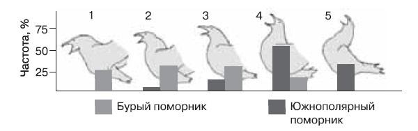 Рис. 4. Между «долгими криками» двух видов поморников сохраняются устойчивые различия: 1–5— последовательные фазы долгого крика, столбики внизу— частота встречаемости у того и другого вида. (По:. Pietz P., «Condor», 1985, т.81). Изображение: «Химия и жизнь»