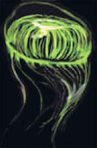 Медуза Aequorea Victoria в ультрафиолетовом освещении. Из тканей этого животного был впервые выделен зеленый флуоресцирующий белок экворин (фото из журнала «Наука и жизнь»)