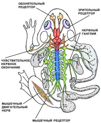 Основные центры нервной системы позвоночных на примере лягушки.  Головной мозг окрашен в красный цвет, а спинной - в...