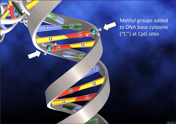 <b>Метилирование ДНК</b><br> Метильные группы присоединяются к цитозиновым основаниям, неразрушая и неизменяя ДНК, новлияя на активность соответствующих генов.  Существует и обратный процесс— деметилирование, при котором метильные группы удаляются и первоначальная активность генов восстанавливается