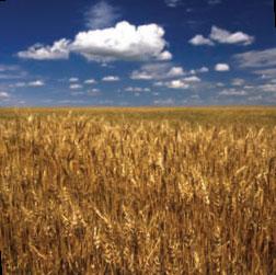 Картинки по запросу картинка  кот собака и Бог идут через поле пшеницы