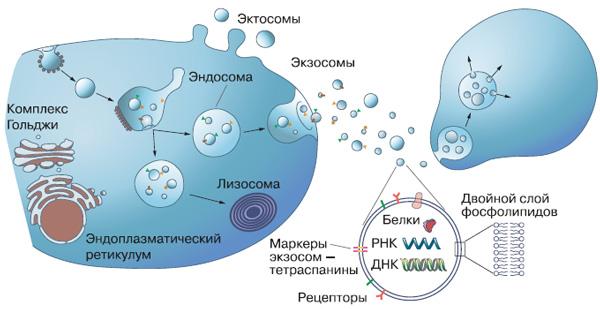 Образование экзосом и эктосом, передача их от клетки-отправителя к адресату. Внизу — «обобщенная» экзосома вувеличенном виде