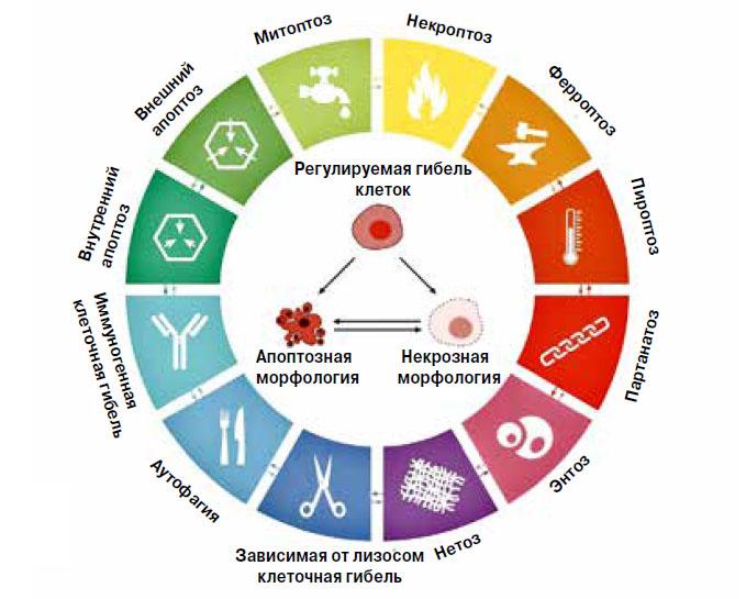 Рис. 1. Типы регулируемой гибели клеток («Химия и жизнь» №10, 2018)