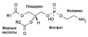 Рис. 2. Фосфатидилэтаноламин (кефалин) («Химия и жизнь» №10, 2018)