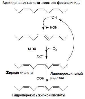 Рис. 4. Окисление полиненасыщенной жирной кислоты в составе фосфолипида («Химия и жизнь» №10, 2018)