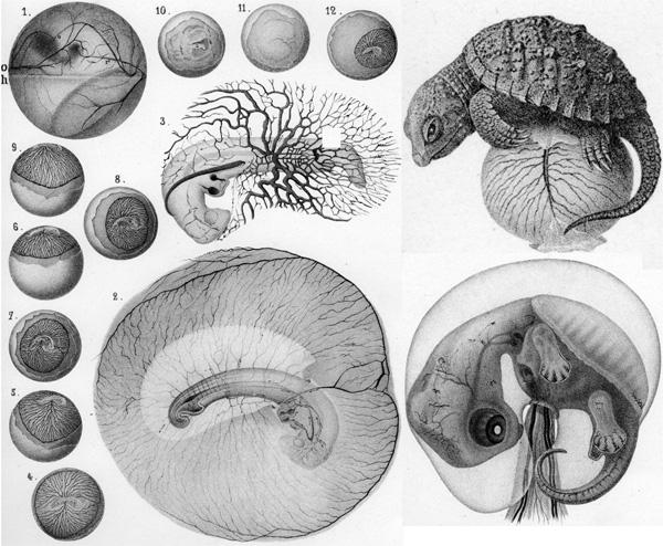 Рис. 3. Развитие эмбриона черепахи; иллюстрация из книги Л.Агассиса «Contributions to the Natural History of the United State», т.2 (1857), рисунок А.Сонреля