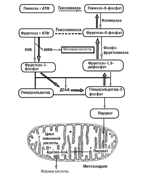 Рис. 2. Метаболизм глюкозы и фруктозы в клетках печени («Химия и жизнь» №3, 2016)