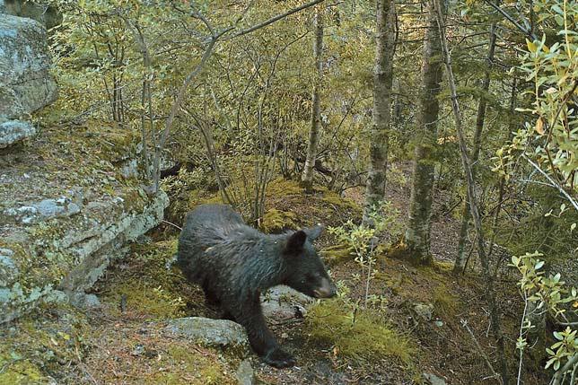 Медведи периодически забираются на скальный останец в верховьях р. Быкова («Природа» №4, 2017)