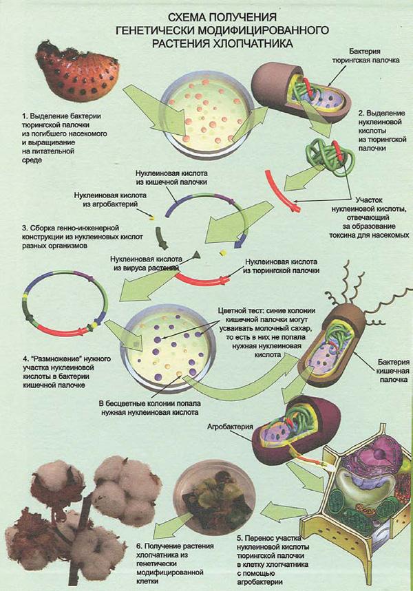 Схема получения генетически