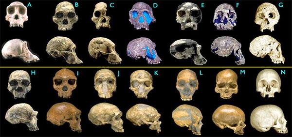 Черепа гоминид. A— современный шимпанзе, B–C— австралопитек африканский (2,6–2,5 млн лет), D–E— человек умелый (1,9–1,8 млн лет), F— Homo rudolfensis (1,8млн лет), G— человек из Дманиси (1,75млн лет), H— Homo ergaster (1,75млн лет), I— Homo heidelbergensis (300–125 тыс. лет), J–L— неандертальцы (70–45тыс. лет), M— кроманьонец (30тыс. лет), N— современный человек. Images ©2000 Smithsonian Institution