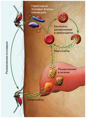 Жизненный цикл малярийного