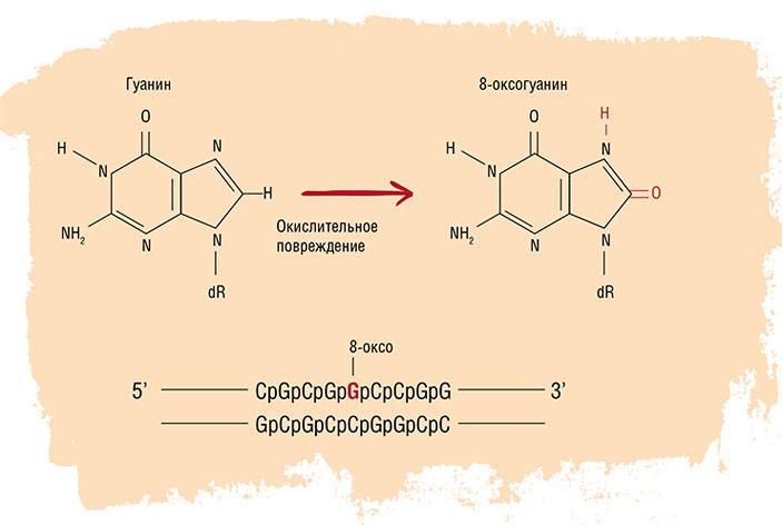 Наиболее чувствительной мишенью в составе ДНК для активных форм кислорода является гуанин, продукт этой реакции — 8-оксогуанин («Наука из первых рук» №4 (75), 2017)
