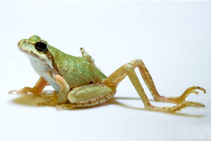 Зараженная нематодой лягушка с лишними уродливыми конечностями («Природа» №6, 2014)