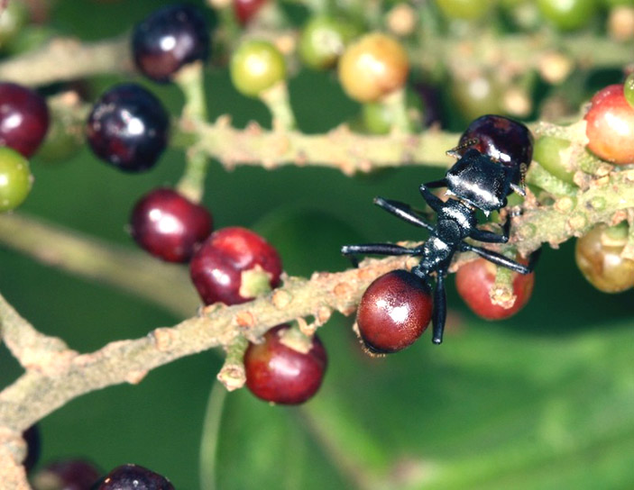 Зараженные нематодой муравьи на ветке с ягодами («Природа» №6, 2014)