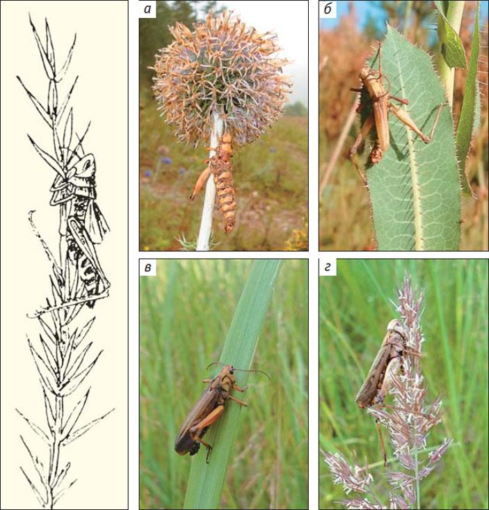 «Вершинная» болезнь прямокрылых насекомых — результат действия паразитического гриба Entomophaga grylli («Природа» №6, 2014)