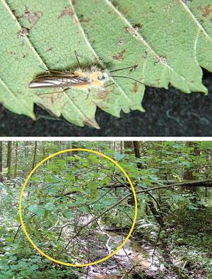 Веснянка, погибшая от паразитического гриба Zoophthora plecopteri («Природа» №6, 2014)