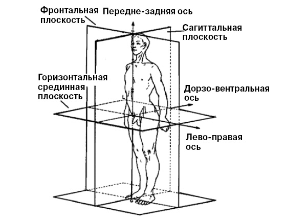 Рисунок плоскостей и осей человека