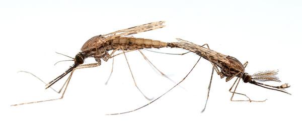 размножение малярийного паразита в крови человека происходит