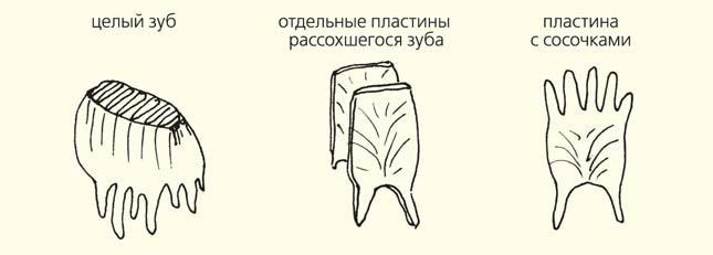 Рис. 6. Схема растрескивания зуба мамонта на отдельные пластины («Природа» №4, 2014)