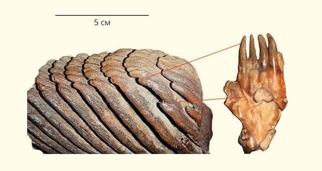 Рис. 7. Схема растрескивания зуба мамонта на отдельные пластины на натурном материале («Природа» №4, 2014)