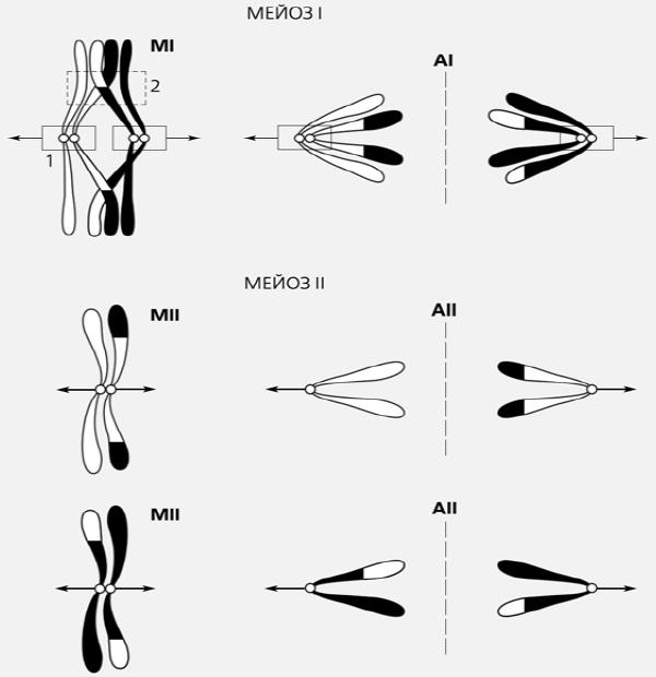 Рис.1. Схема расхождения хромосом в мейозе. Для точного  распределения гомологичные хромосомы сначала попарно выстраиваются на  экваторе клетки, азатем расходятся к полюсам, что и происходит в ходе  мейоза I, апредварительное попарное соединение хромосом осуществляется с  помощью синаптонемного комплекса, возникающего только во время мейоза.  Рамкой 1 обозначен центромерный район хромосом, несущий нерасщепленный  кинетохор, рамкой 2— хиазма. Изображение: «Природа»