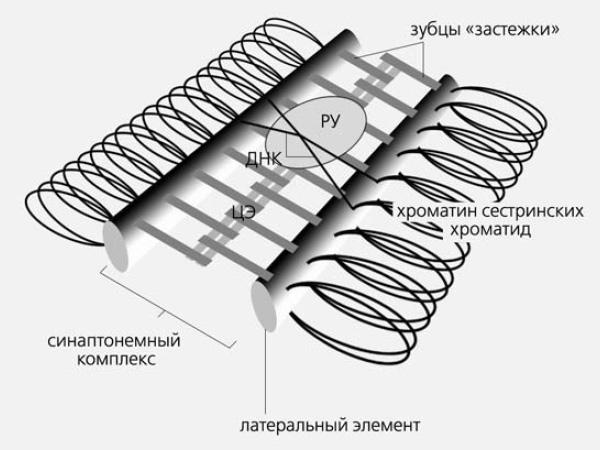 Рис.3. Схема строения синаптонемного комплекса почкующихся  дрожжей, дрозофилы и млекопитающих. ЦЭ— центральный элемент; РУ—  рекомбинационный узелок, всоставе которого экспериментально выявлены  ферменты, участвующие в кроссинговере. Изображение: «Природа»