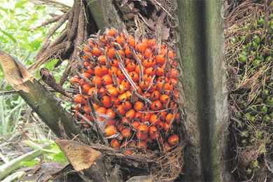 Пальмовое масло мифы и реальность