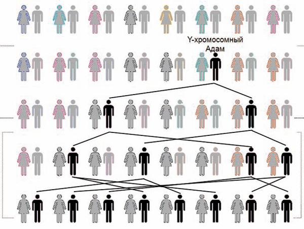 Отцовские линии сходятся к единственному мужчине— Y-хромосомному Адаму. Y-хромосомный Адам и митохондриальная Ева небыли современниками