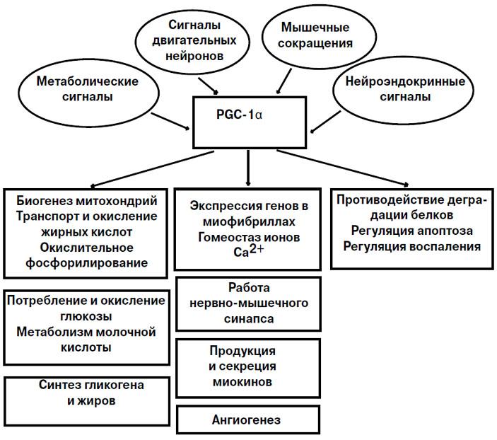 Рис. 1. Роль PGC-1α в мышечных волокнах, тренированных на выносливость («Химия и жизнь» №9, 2016)